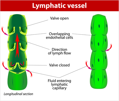 lymphatic-vessel